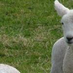 Lambs-April