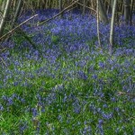 Sissinghurst-Bluebells