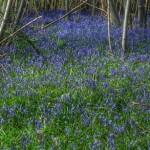 Sissinghurst-Bluebells
