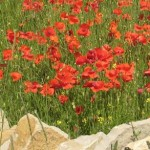 Cotswold-poppies-wall
