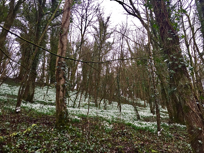 A carpet of snowdrops in the woods near Cherington Lake