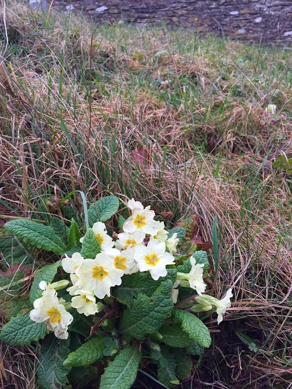Very early for primroses to be out - these in Cheringon