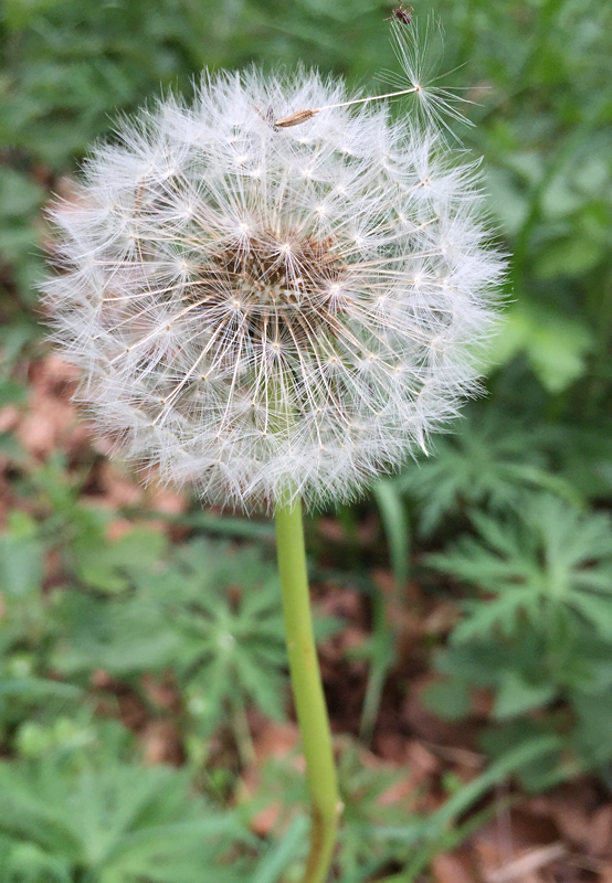 Dandelion gone to seed - ready to blow, to find out the time !